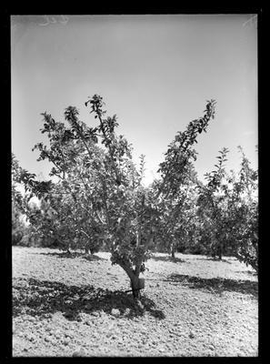 Imperial Chemicals Orchards
