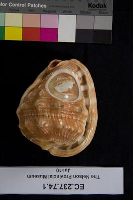 Shell, with cameo carving