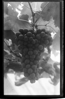 Grapes, bunch