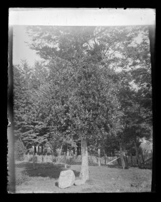 Mistletoe in blossom, Sunny Brae, about 1908