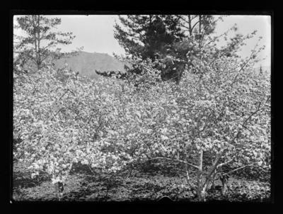 J. Remnant's orchard (thought to be)