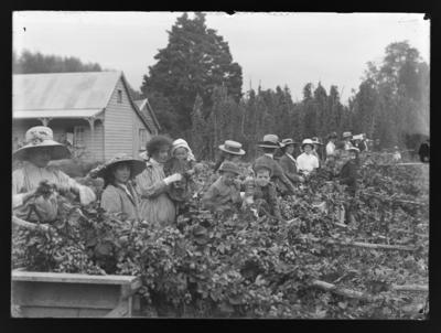 Early hop garden at Percy Baigent's, Ryversdale, Wakefield