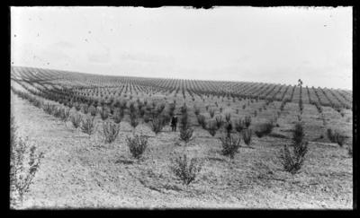 Orchard with young trees