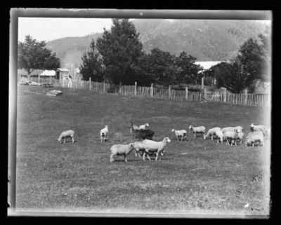 Sheep and a deer in fenced area