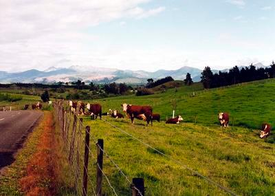 Cattle on the Moutere hills