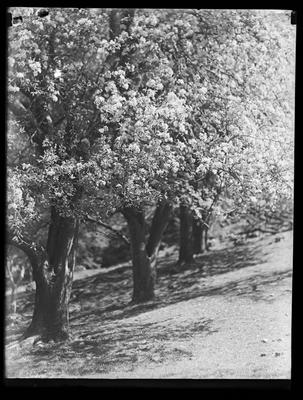 Pear trees, blossoms
