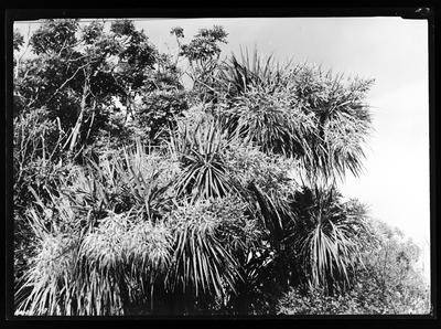Cabbage trees in flower