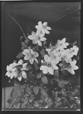 Clematis, flowers