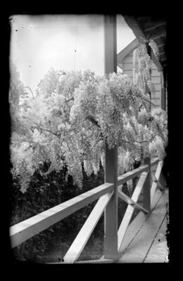 Flowering plant, wisteria on verandah