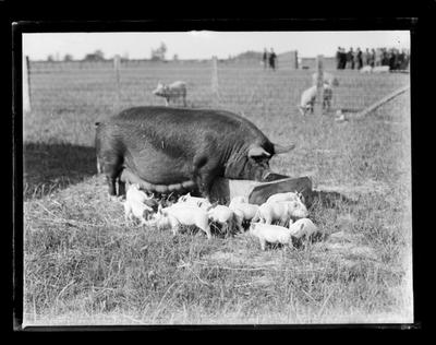Wyllie, sow with litter