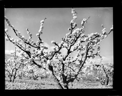 Horticulture, blossom tree