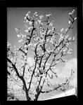 Horticulture, tree in blossom